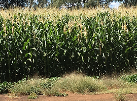 Billimari Cornfields